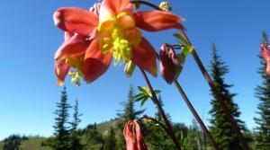 Columbine blooms on Windy Pass. Mazama, WA.